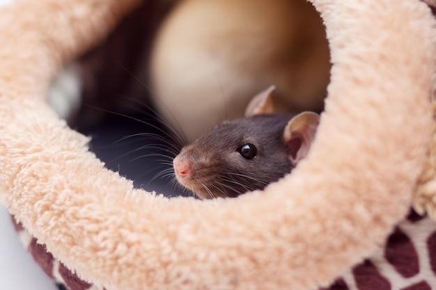 Le rat décoratif domestique regarde d'un lit moelleux.