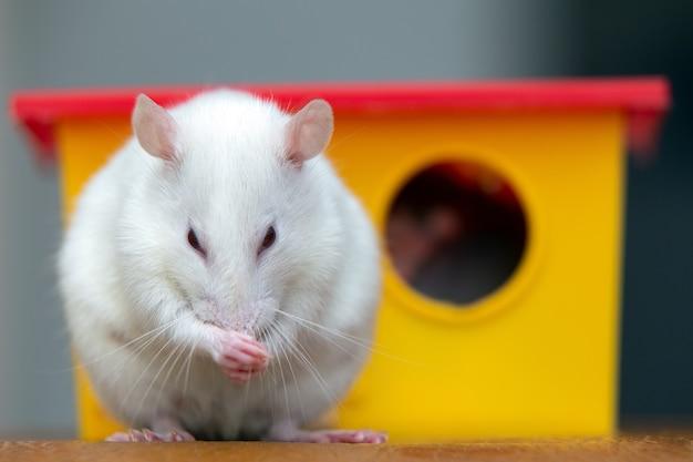Rat domestique drôle blanc près de la maison de jouet en plastique jaune.