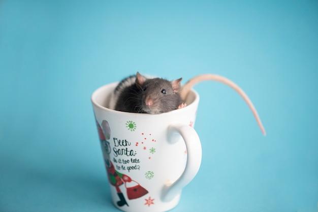 Rat domestique mignon assis dans une tasse de noël isolé sur bleu. concept de la nouvelle année 2020.