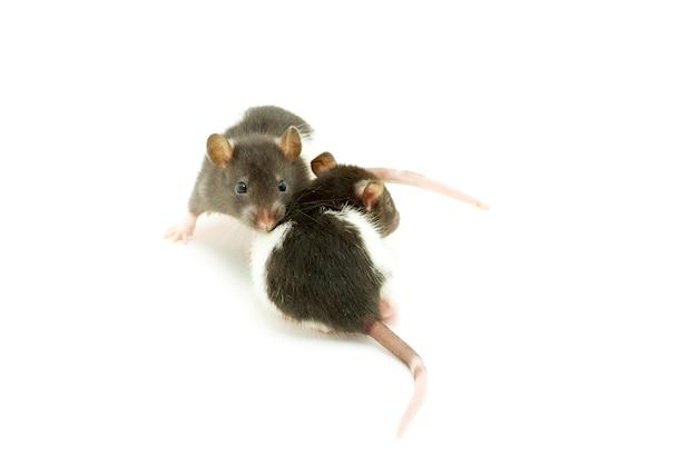 Rat drôle isolé sur fond blanc