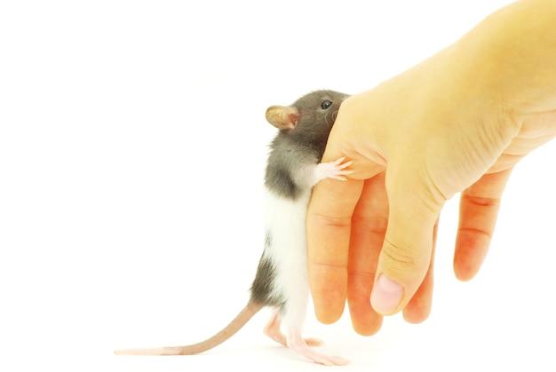 Rat drôle à la main isolé sur fond blanc