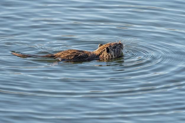 Rat d'eau dans le parc naturel des marais d'ampurdan.