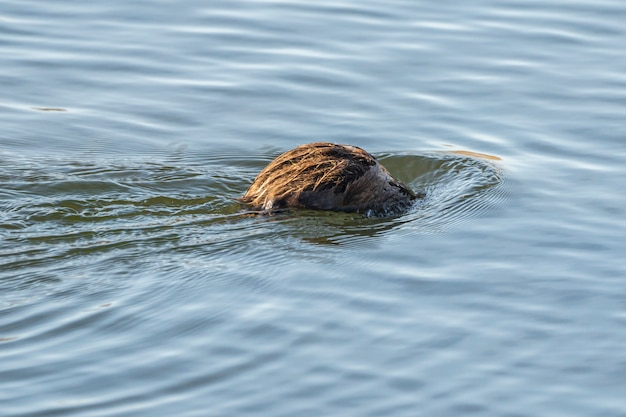 Rat d'eau entrant dans l'eau dans le parc naturel des marais d'ampurdan.