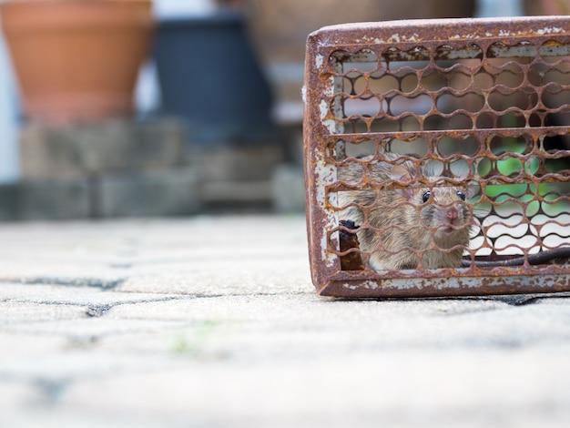 Le rat était dans une cage en train d'attraper. rat a contagion de la maladie à l'homme
