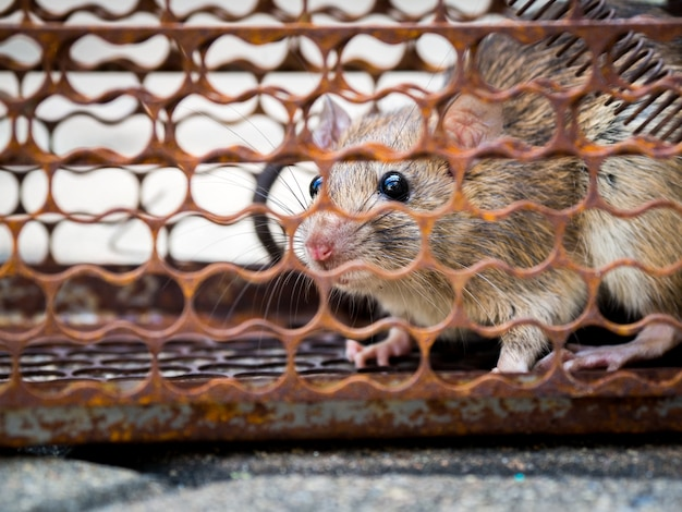 Le rat était dans une cage en train d'attraper.