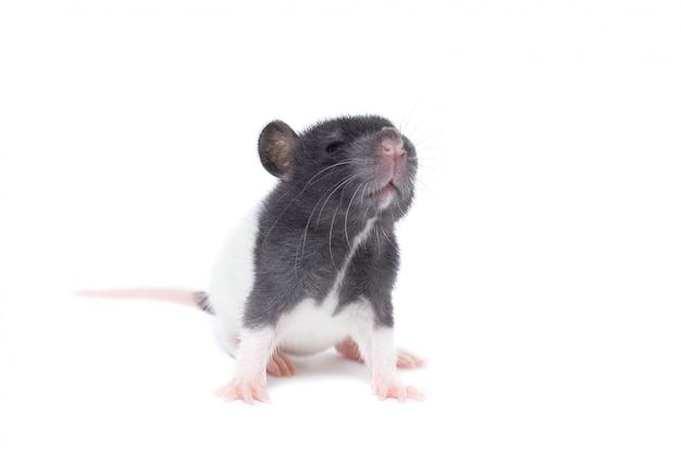 Rat sur fond blanc