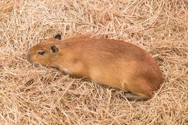 Rat géant ou capybara