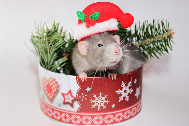 Rat gris dans un chapeau de père noël près de branches de sapin dans une boîte de noël