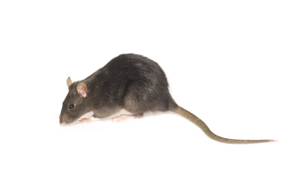 Rat gris isolé sur fond blanc