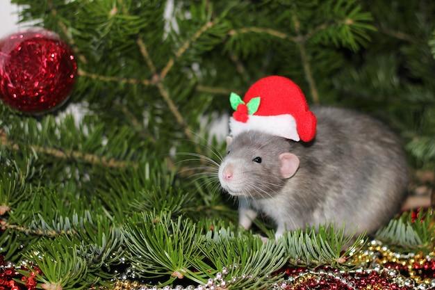 Rat gris de noël parmi les arbres de noël naturels
