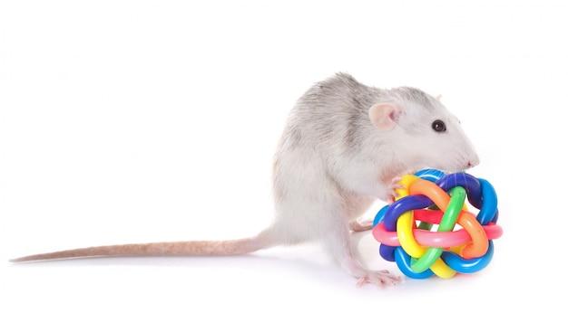 Rat husky avec jouet