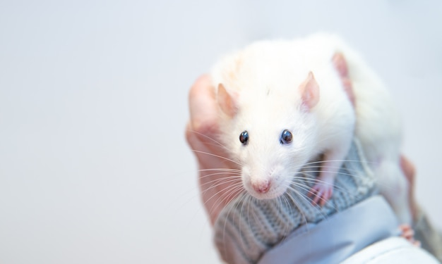 Un rat de laboratoire blanc aux mains des soignants