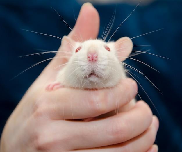 Rat de laboratoire blanc mignon dans une main humaine