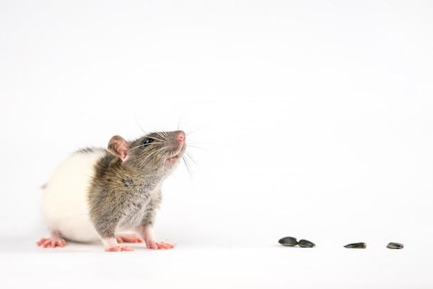 Rat mignon assis sur un blanc sont des graines de tournesol