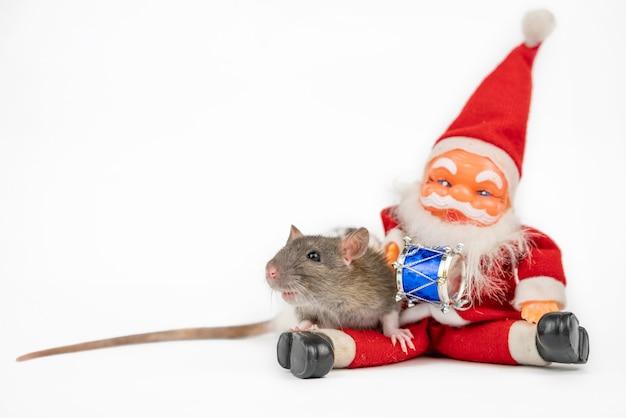 Rat mignon gris sur blanc avec isolant du père noël