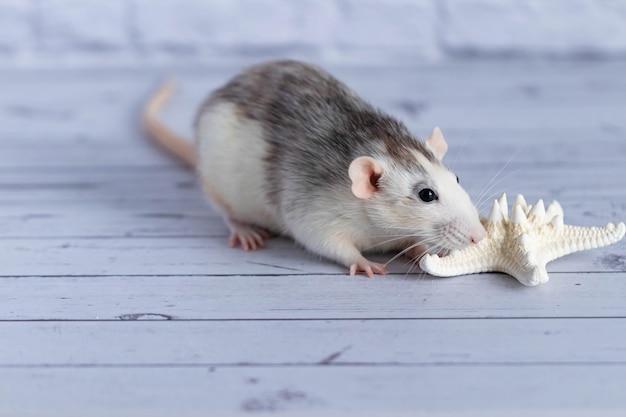 Rat mignon renifle une étoile de mer blanche