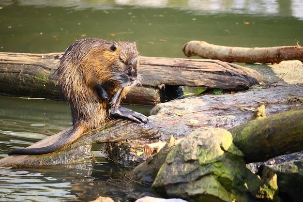 Rat musqué debout sur du bois coupé à côté de la rivière