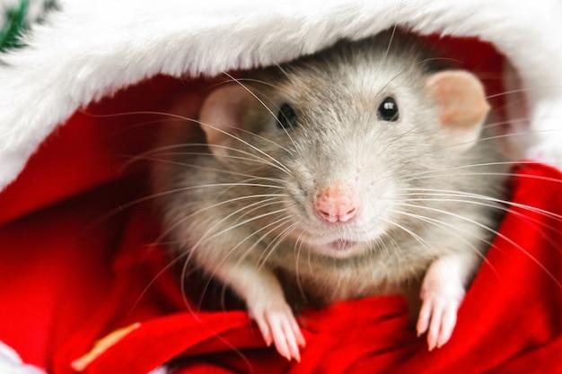 Rat de noël en chapeau de père noël rouge