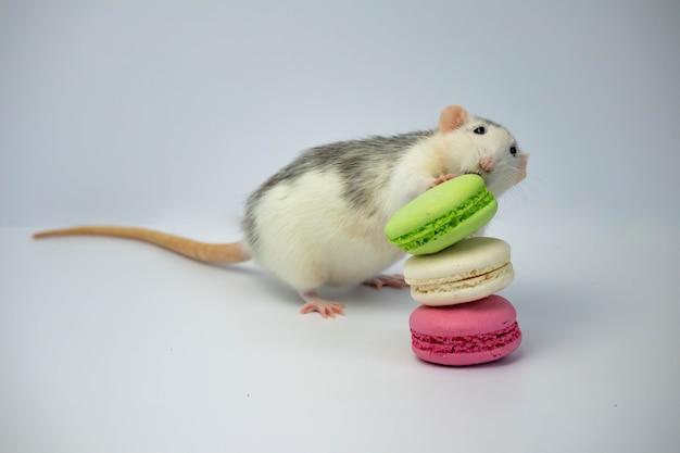 Un rat noir et blanc renifle des macarons verts et roses