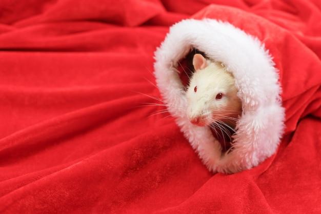 Un rat regarde par un bonnet de noel.