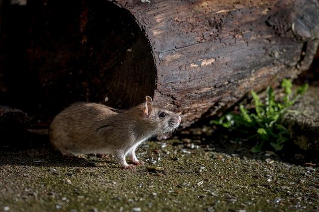 Rat sauvage norvégien brun, rattus norvegicus, assis à l'extérieur
