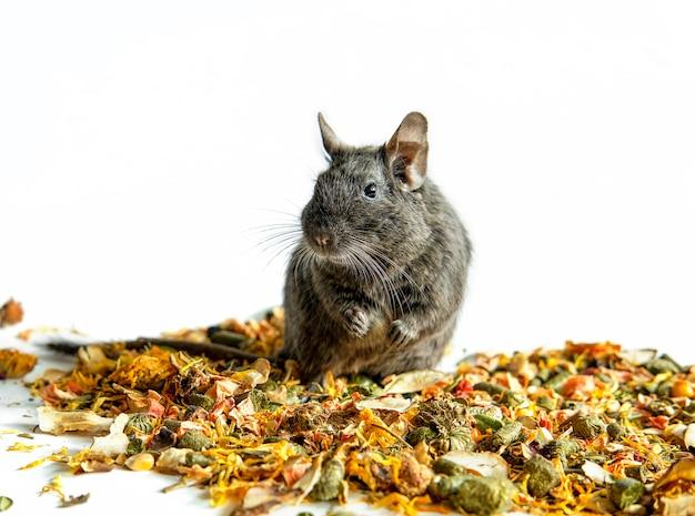 Le rat se repose sur la poupe émiettée avec le fond blanc