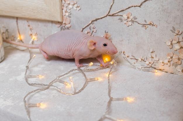 Rat sphinx chauve du nouvel an