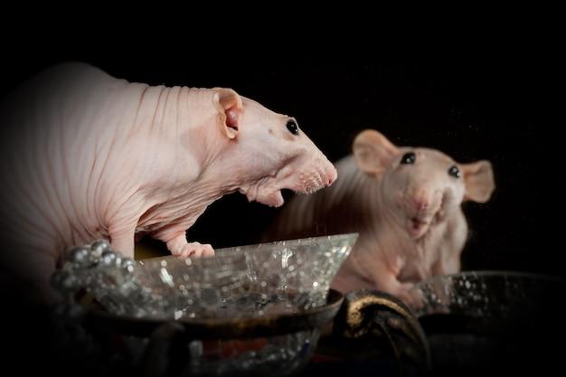 Rat sphynx rose glabre, très surpris se regarde lui-même dans le miroir