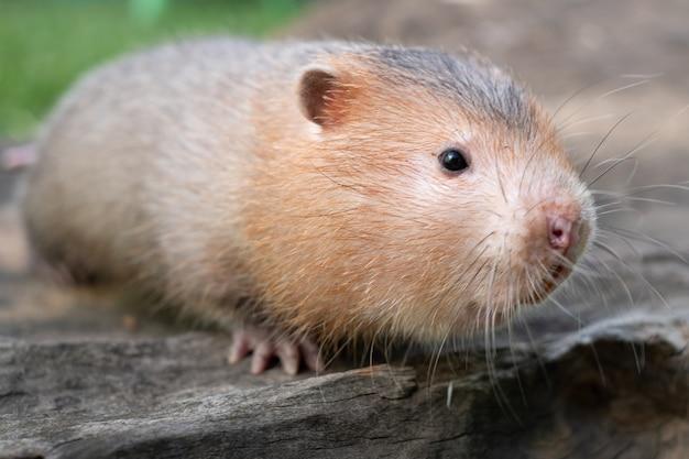Rat-taupe ou grand rat en bambou dans le jardin