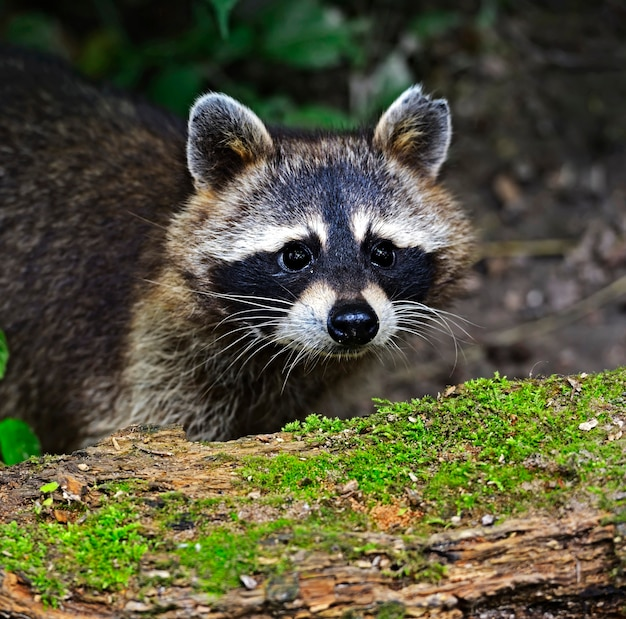 Raton laveur dans la forêt en milieu naturel