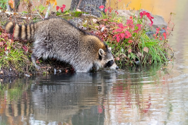 Raton laveur entrant dans l'eau et à la recherche de nourriture