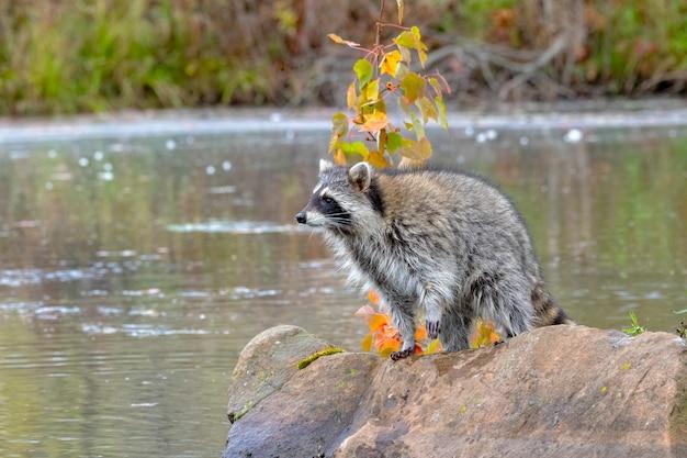 Le raton laveur se dresse sur boulder à la recherche sur l'eau
