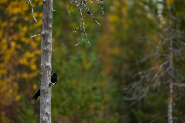 Raven en automne en laponie, dans le nord de la finlande