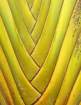 Ravenala bananeira tronc vert texture de fond