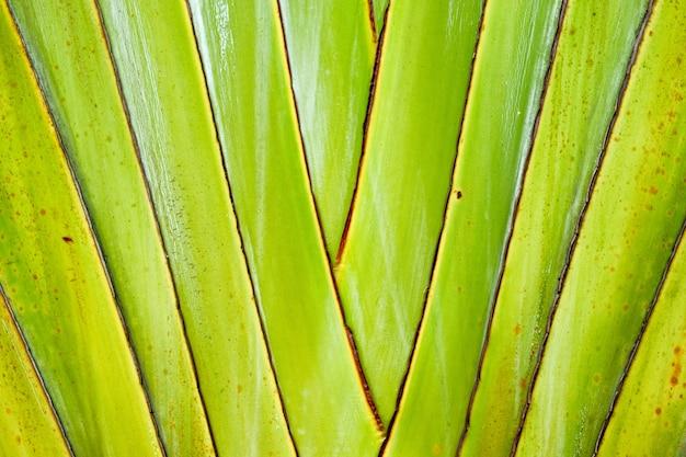 Ravenala madagascariensis, palmier du voyageur, arbre du voyageur belle texture de forme naturelle