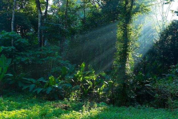 Ray lumière à la forêt tropicale au matin
