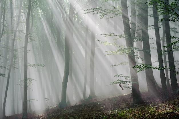 Les rayons du soleil dans la forêt de hêtres. les rayons du soleil traversent le matin dans la forêt de feuillus.