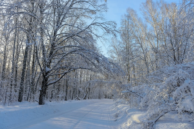 Les rayons du soleil traversent les branches enneigées des arbres. concept de voyage d'hiver pendant les vacances du nouvel an.