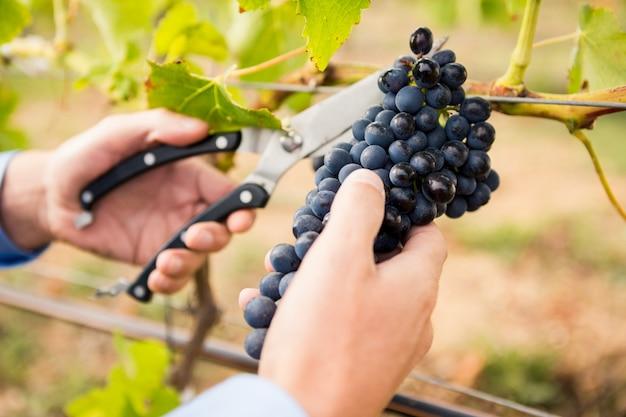 Recadrée de mains d'homme coupant des raisins