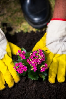Recadrée des mains d'une personne plantant des fleurs roses