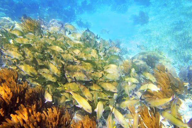 Récif des caraïbes, école de poisson grunt, riviera maya