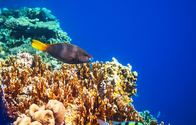 Récif de corail vivant en mer rouge, egypte.