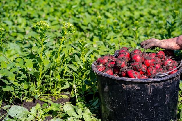 Récolté au champ radis rouge, mûr, rond.