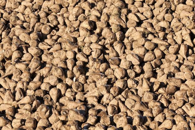 Récolte de betteraves, immergée dans d'énormes tas, dans un champ agricole. une photo en gros plan.