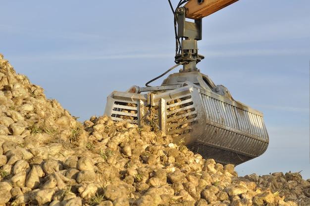 Récolte de betteraves à sucre