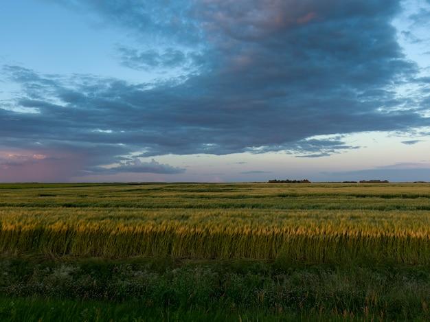 Récolte de blé dans les champs, lorette, manitoba, canada