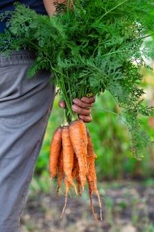 Récolte de carottes dans la main d'une agricultrice