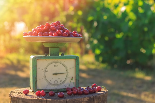 Récolte de cerises mûres sur la balance dans le jardin
