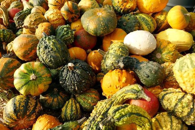 Récolte de citrouille. citrouilles décoratives jaunes et vertes.
