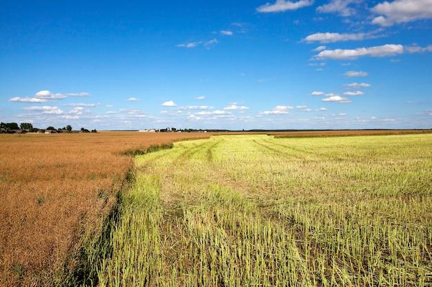 Récolte de colza - un champ agricole, qui a effectué la récolte de colza, l'été,